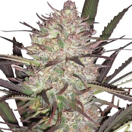 BEST FEMINIZED MARIJUANA STRAINS REVIEW 2020